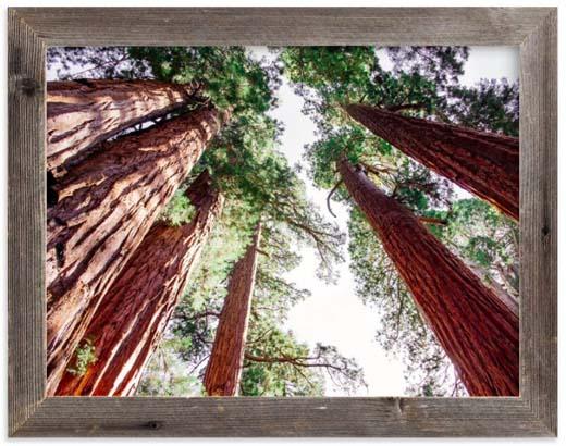 National Parks Prints - Soaring Sequoias